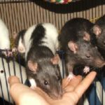 Reasons to get a pet rat