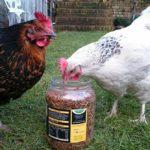 Chicken sitting Maidstone